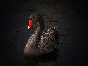 black-swan-road