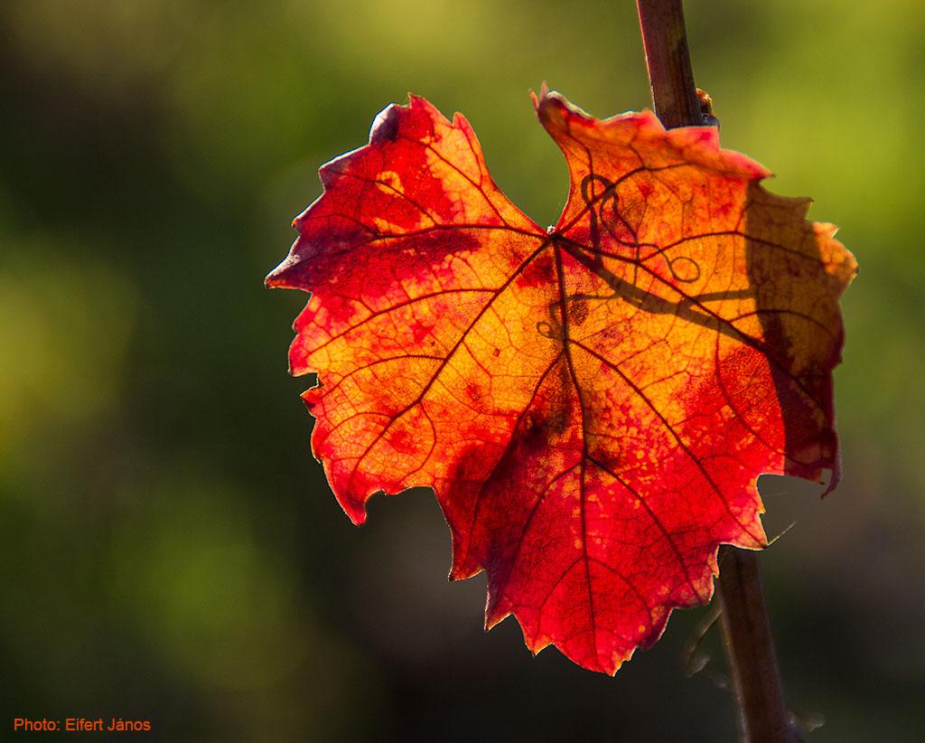 Monori-pincefalu-Szőlő-levél-őszi-színekben(1)