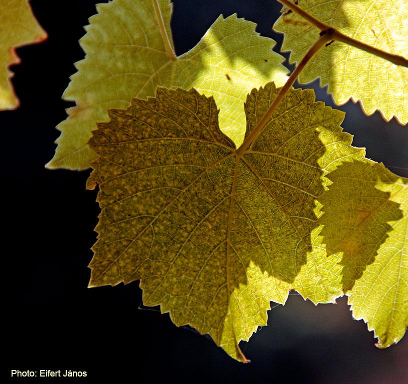 Monori-pincefalu-Szőlő-levelek
