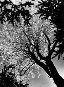 1968_fenytviragzo-fa-kekesteto